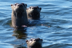 Curious American River Otters in Pigeon Lake.